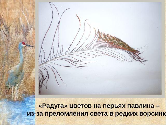 «Радуга» цветов на перьях павлина – из-за преломления света в редких ворсинках
