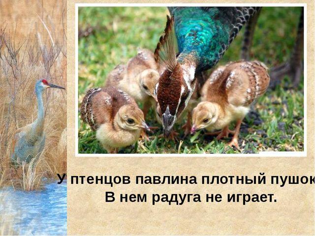 У птенцов павлина плотный пушок. В нем радуга не играет.