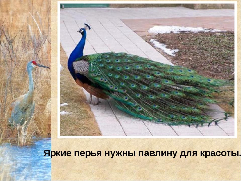 Яркие перья нужны павлину для красоты.