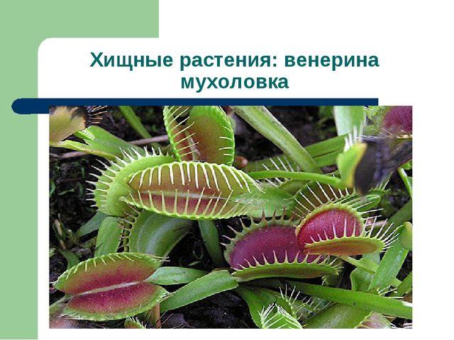 Хищные растения: венерина мухоловка