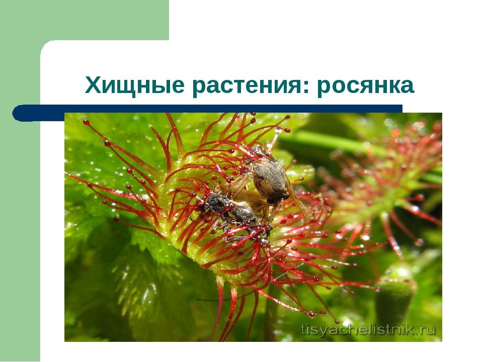 Хищные растения: росянка