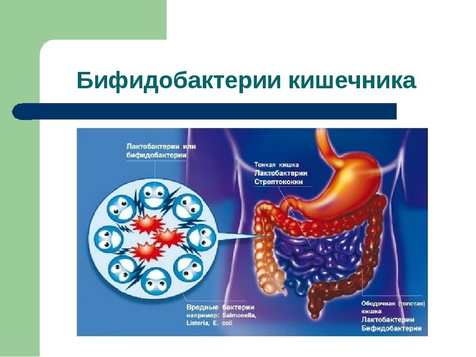 Бифидобактерии кишечника