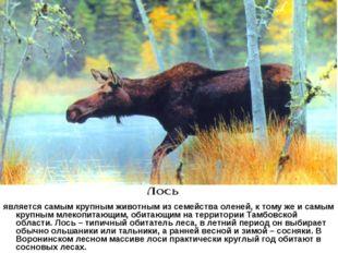 является самым крупным животным из семейства оленей, к тому же и самым крупн