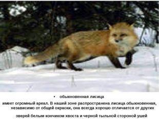 обыкновенная лисица имеет огромный ареал. В нашей зоне распространена лисица