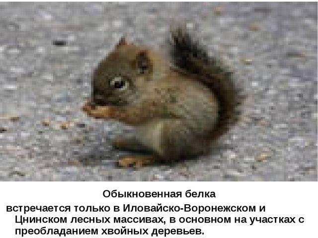 Обыкновенная белка встречается только в Иловайско-Воронежском и Цнинском лесн...