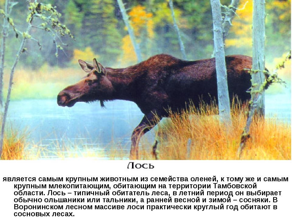 является самым крупным животным из семейства оленей, к тому же и самым крупн...