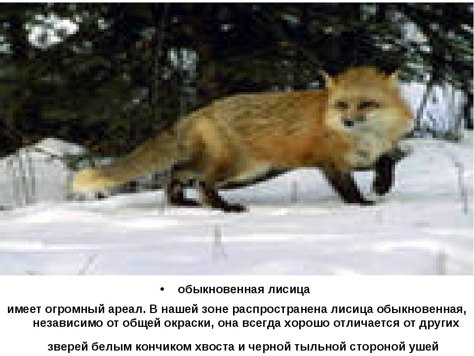 обыкновенная лисица имеет огромный ареал. В нашей зоне распространена лисица...