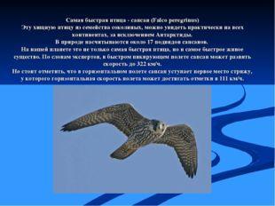 Самая быстрая птица - сапсан (Falco peregrinus) Эту хищную птицу из семейства