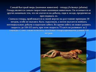 Самый быстрый зверь (наземное животное) - гепард (Acinonyx jubatus) Гепард яв