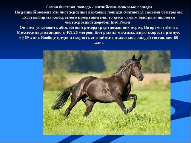 Самая быстрая лошадь - английские скаковые лошади На данный момент эти чисток...