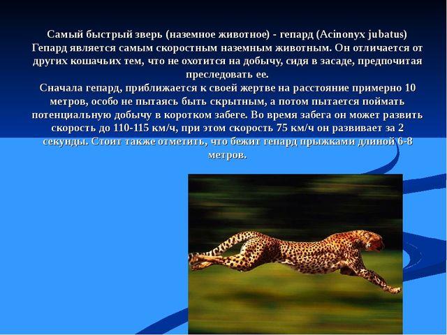 Самый быстрый зверь (наземное животное) - гепард (Acinonyx jubatus) Гепард яв...