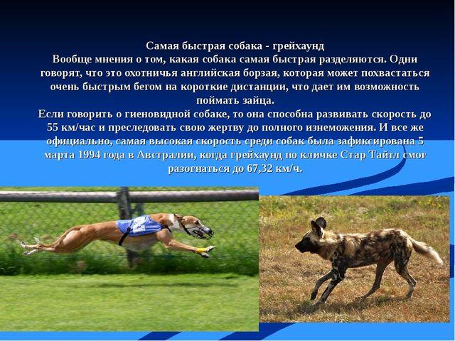 Самая быстрая собака - грейхаунд Вообще мнения о том, какая собака самая быст...