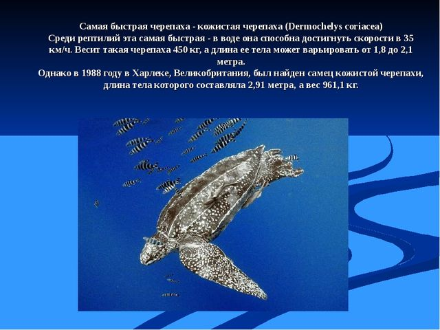 Самая быстрая черепаха - кожистая черепаха (Dermochelys coriacea) Среди репти...