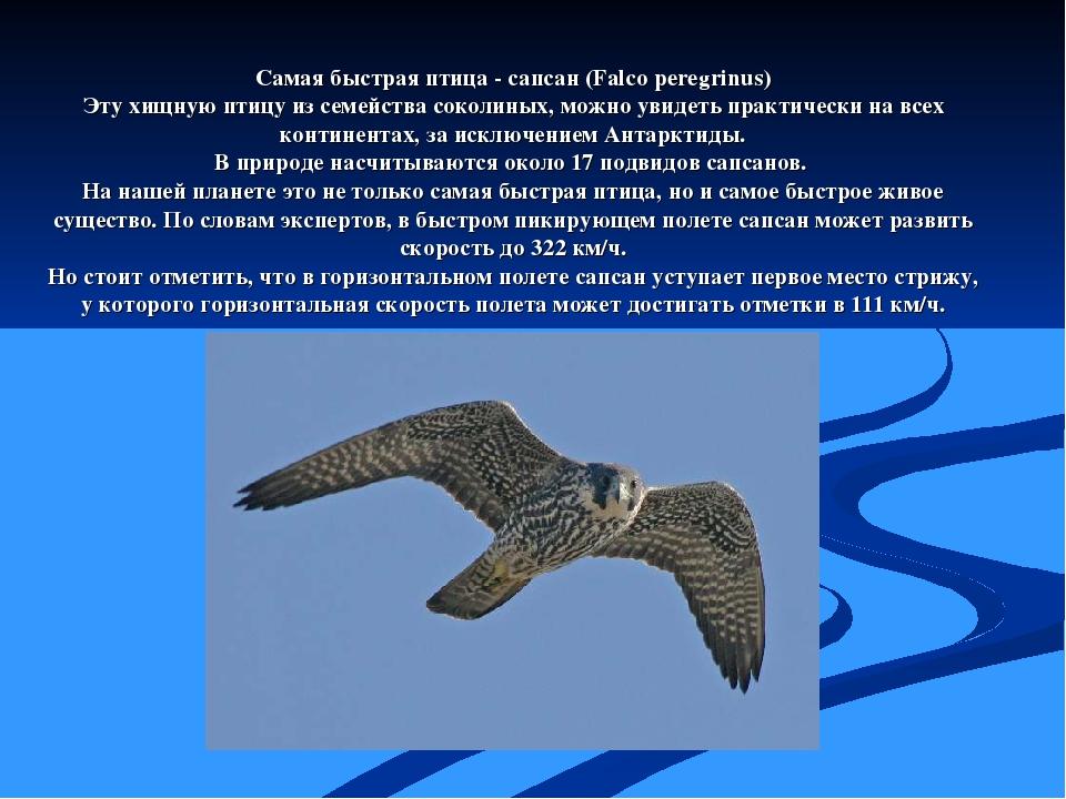 Самая быстрая птица - сапсан (Falco peregrinus) Эту хищную птицу из семейства...