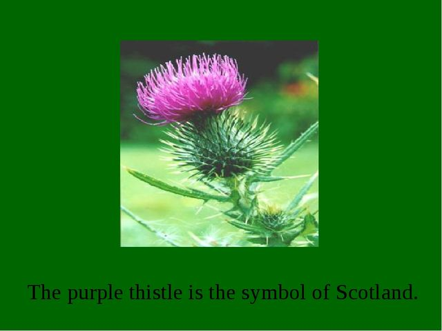 The purple thistle is the symbol of Scotland.