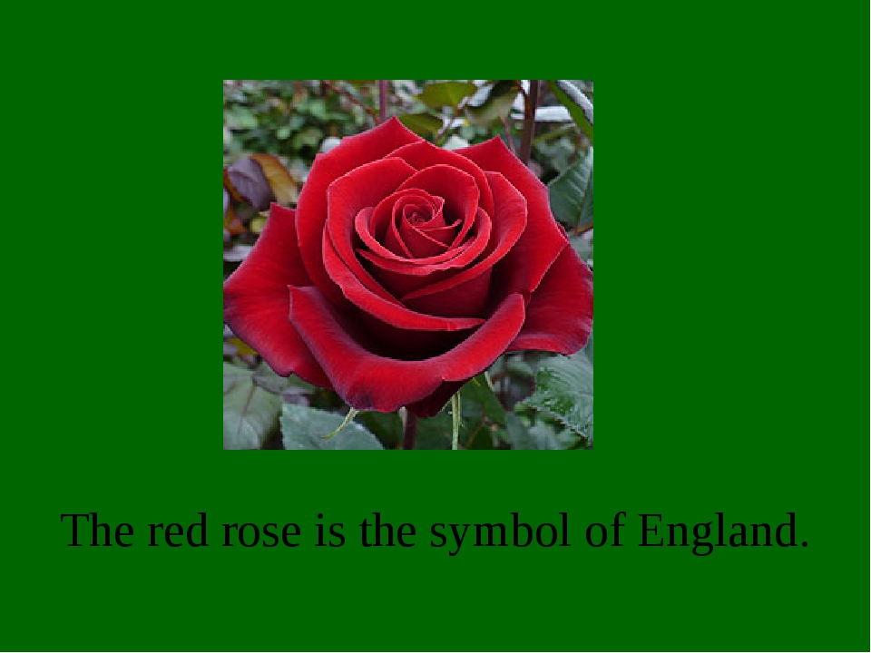 The red rose is the symbol of England.