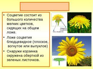 Соцветие корзинка Соцветие состоит из большого количества мелких цветков, сид