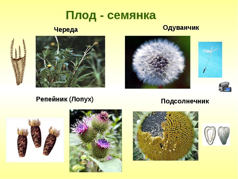 Плод - семянка Одуванчик Подсолнечник Череда Репейник (Лопух)