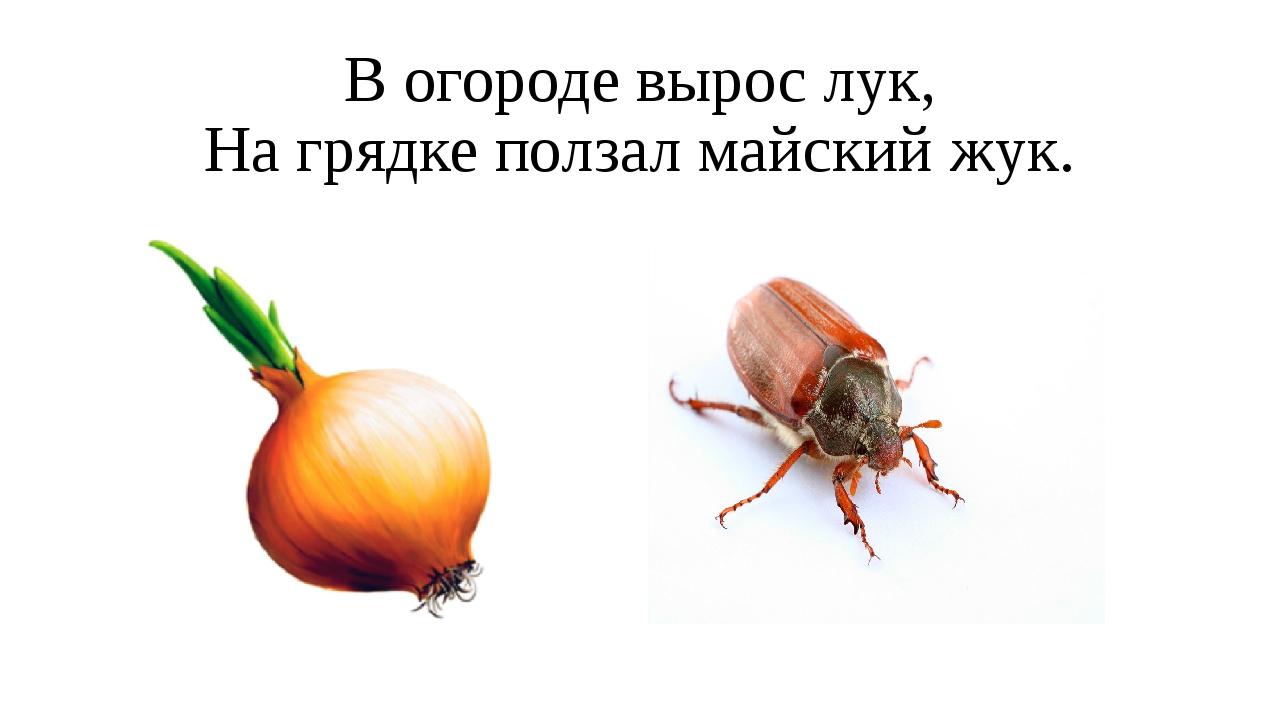 В огороде вырос лук, На грядке ползал майский жук.