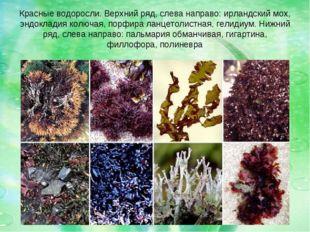 Красные водоросли. Верхний ряд, слева направо: ирландский мох, эндокладия кол