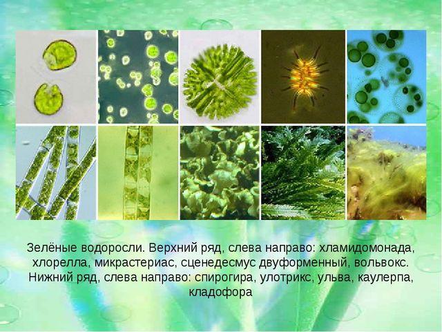 Зелёные водоросли. Верхний ряд, слева направо: хламидомонада, хлорелла, микра...
