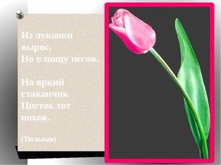 Из луковки вырос, Но в пищу негож. На яркий стаканчик Цветок тот похож. (Тюль