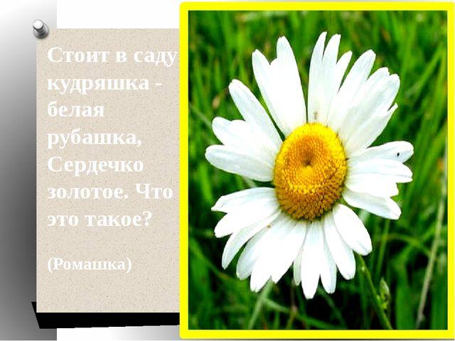 Стоит в саду кудряшка - белая рубашка, Сердечко золотое. Что это такое? (Ро...