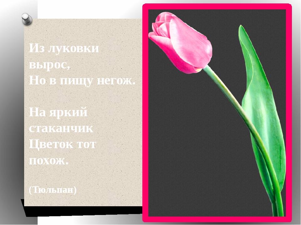 Из луковки вырос, Но в пищу негож. На яркий стаканчик Цветок тот похож. (Тюль...