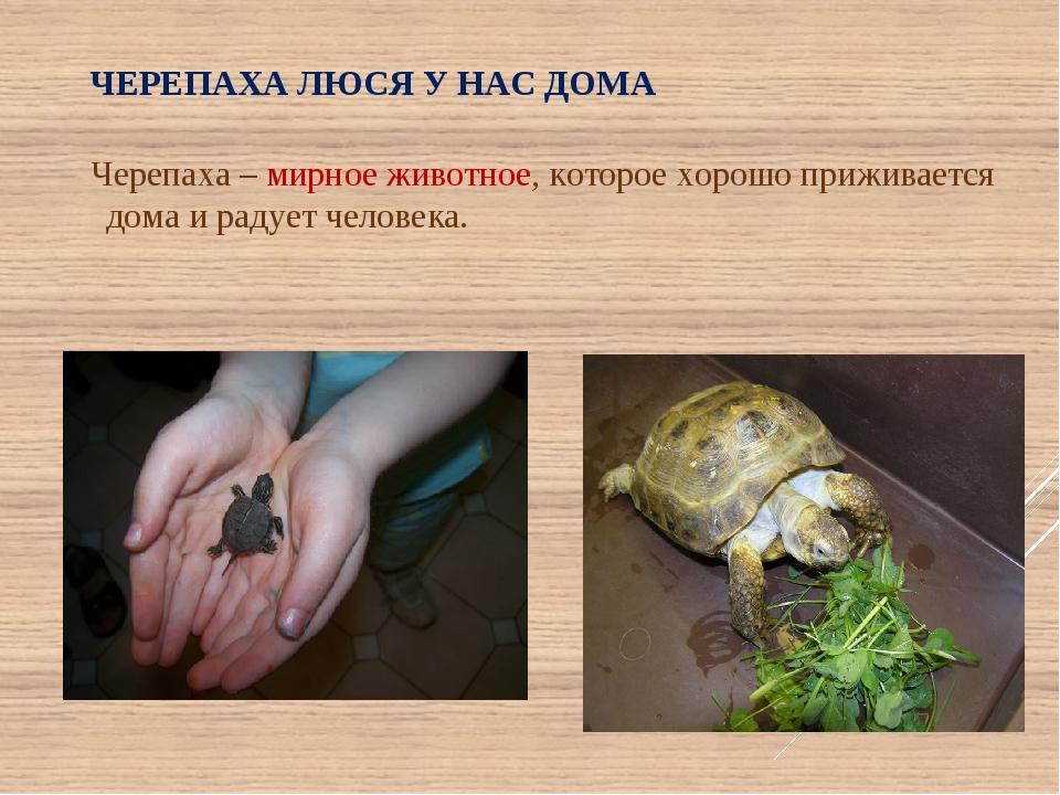 ЧЕРЕПАХА ЛЮСЯ У НАС ДОМА Черепаха – мирное животное, которое хорошо приживает...