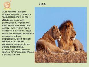 Льва принято называть «Царем зверей»: длина его тела достигает 2,4 м, вес — 2