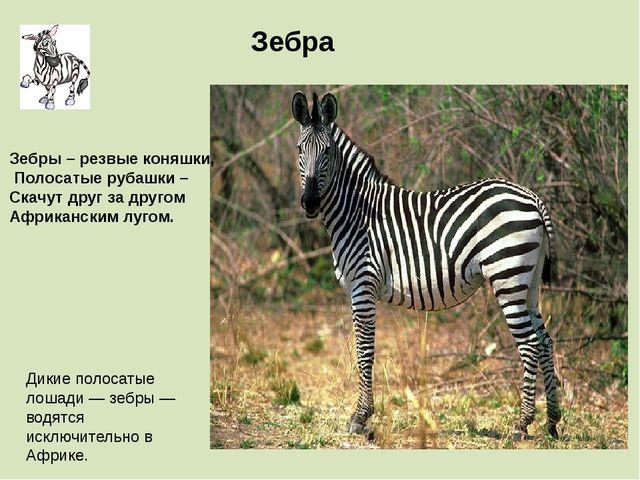 Дикие полосатые лошади — зебры — водятся исключительно в Африке. Зебра Зебры...