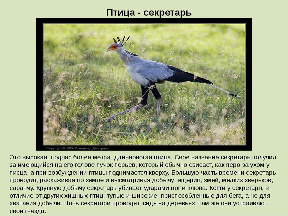 Птица - секретарь Это высокая, подчас более метра, длинноногая птица. Свое на...