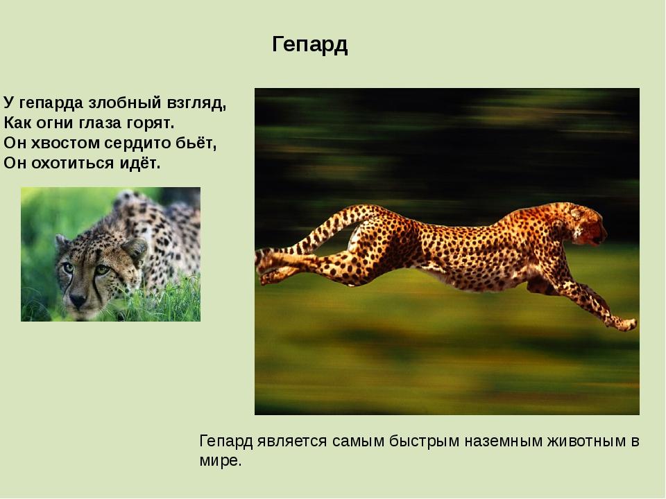 Гепард является самым быстрым наземным животным в мире. Гепард У гепарда злоб...