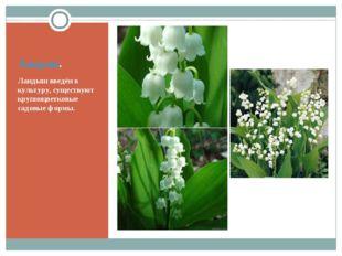 Ландыш. Ландыш введён в культуру, существуют крупноцветковые садовые формы.