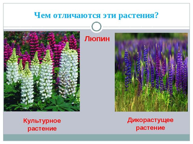 Чем отличаются эти растения? Люпин Культурное растение Дикорастущее растение