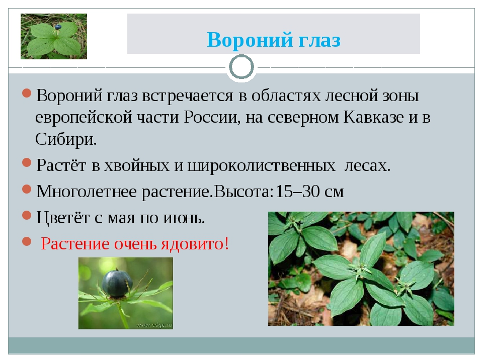 Вороний глаз Вороний глаз встречается в областях лесной зоны европейской част...