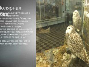 Полярная сова Это одна из самых крупных сов в мире. Благодаря своей великолеп