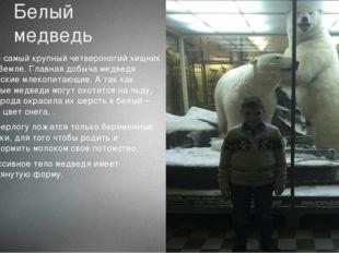 Белый медведь Это самый крупный четвероногий хищник на Земле. Главная добыча