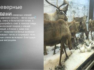 Северные олени Передние ноги у северных оленей имеют широкие копыта - легко х