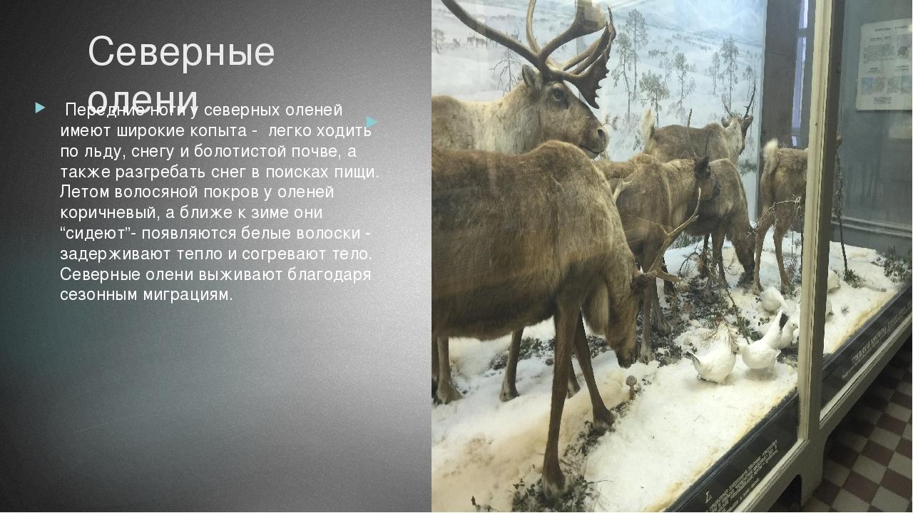 Северные олени Передние ноги у северных оленей имеют широкие копыта - легко х...