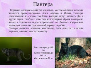 Пантера Крупные хищники семейства кошачьих, местом обитания которых являются