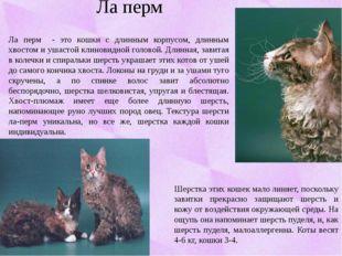 Ла перм Ла перм - это кошки с длинным корпусом, длинным хвостом и ушастой кли