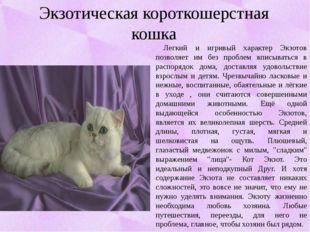 Экзотическая короткошерстная кошка Легкий и игривый характер Экзотов позволяе