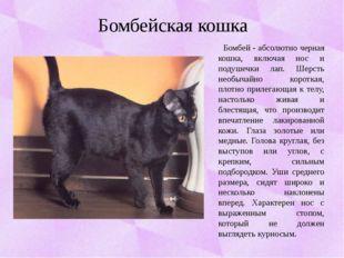 Бомбейская кошка Бомбей - абсолютно черная кошка, включая нос и подушечки лап