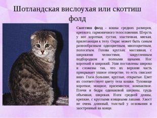 Скоттиш фолд - кошка средних размеров, крепкого, гармоничного телосложения.