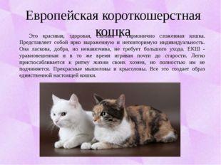 Европейская короткошерстная кошка Это красивая, здоровая, статная и гармоничн