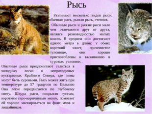 Рысь Различают несколько видов рыси: обычная рысь, рыжая рысь, степная. Обычн