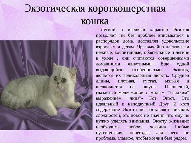 Экзотическая короткошерстная кошка Легкий и игривый характер Экзотов позволяе...