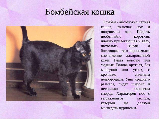 Бомбейская кошка Бомбей - абсолютно черная кошка, включая нос и подушечки лап...