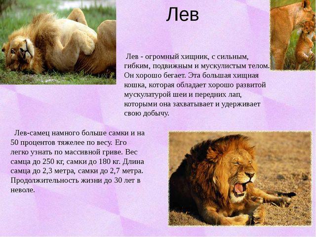 Лев Лев - огромный хищник, с сильным, гибким, подвижным и мускулистым телом....